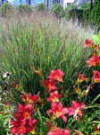 Indian red switch grass and Chicago apache daylily